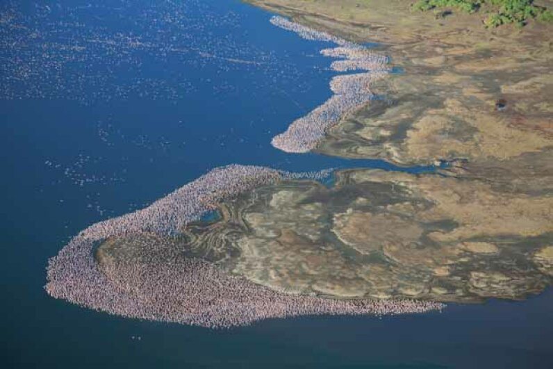 Aerial view of flamingos over Lake Bogoria, Kenya. This saline, alkaline lake is abundant with cynobacteria that attracts large numbers of flamingos, sometimes 1 million at a time. Martin Harvey/Gallo Images/Getty Images