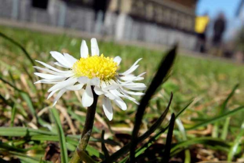 The tridax procumbens is a member of the daisy family and a widespread weed.  It is also know as the tridax daisy or coat buttons and looks a lot like this plant. MARTIN GERTEN/AFP/Getty Images