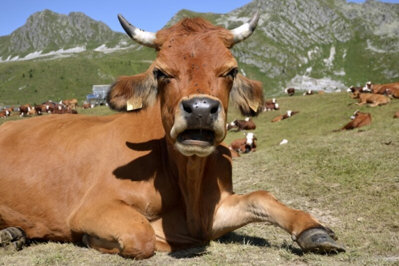 Are you a believer in bovine barometers or not so much? Musat/iStock/Thinkstock
