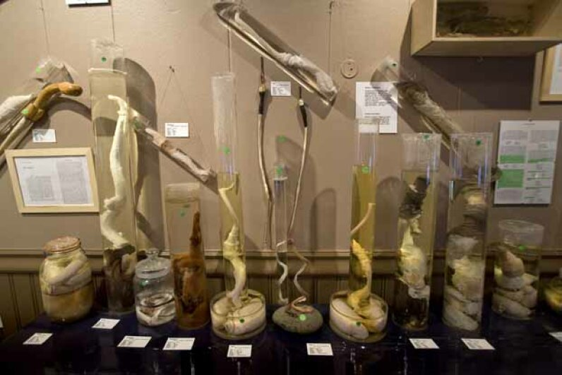 The Icelandic Phallological Museum features phallic specimens from nearly all the land and sea mammals in Iceland. Including a few humans. © Bob Strong/Reuters/Corbis