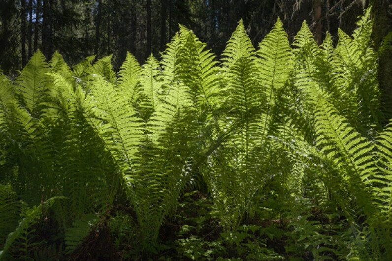 Older, wiser ferns control other ferns' sex lives in the interest of maintaining diversity. pum_eva/iStock/Thinkstock