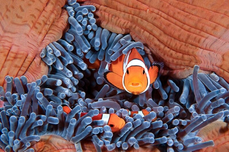 Nemo becomes Nema when the lone female clownfish disappears from their comfy sea-anemone home. LeventKonuk/iStock/Thinkstock