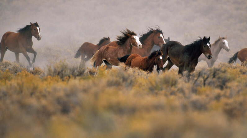 The Trump administration's 2018 budget proposal opens up the idea that wild horses could be sold to slaughterhouses. Inga Spence/Getty Images