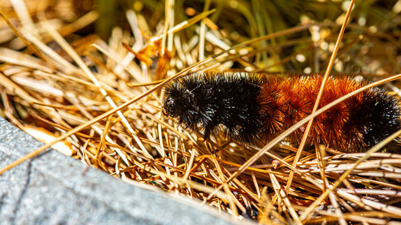 brown and black woolly bear caterpillar