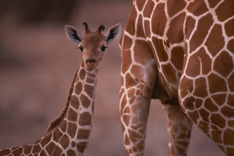 It's a hard-knock life, little giraffe. Fuse/Thinkstock