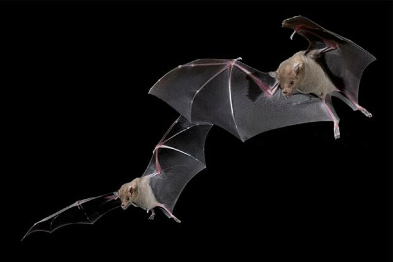 Bats actually have good eyesight -- they just don't need it much. Tom Walker/Getty Images