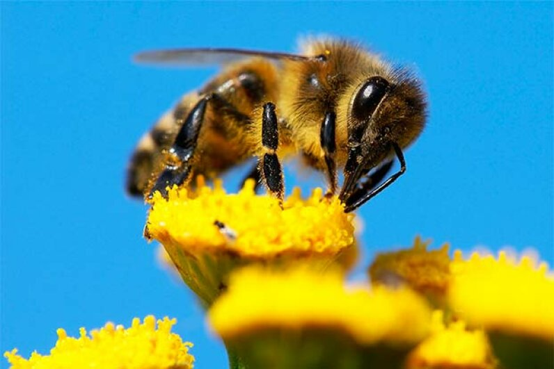 Bees don't have knees as we think of knees. Daniel Prudek/iStock/Thinkstock