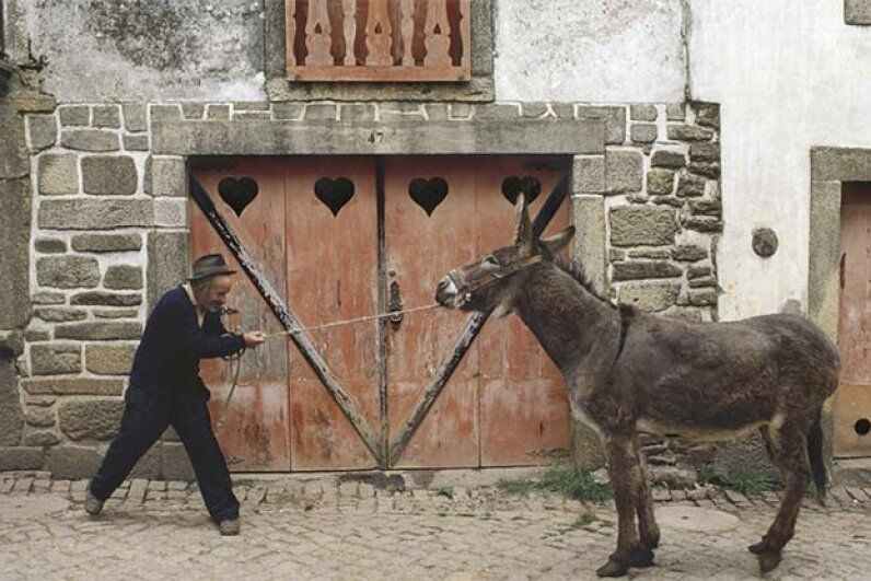 Mules aren't stubborn; they're just too smart to let their owners overwork them. Tony Arruza/Getty Images