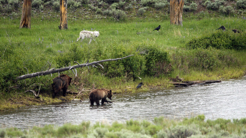 Yellowstone National Park's 'Zone of Death'