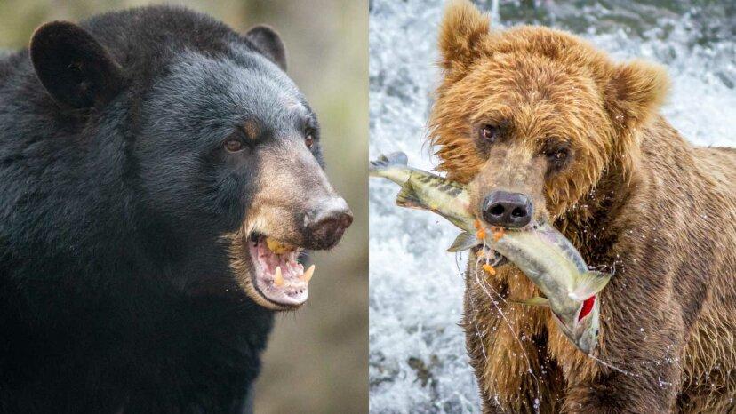 Was ist der Unterschied zwischen einem Braunbären und einem Schwarzbären?