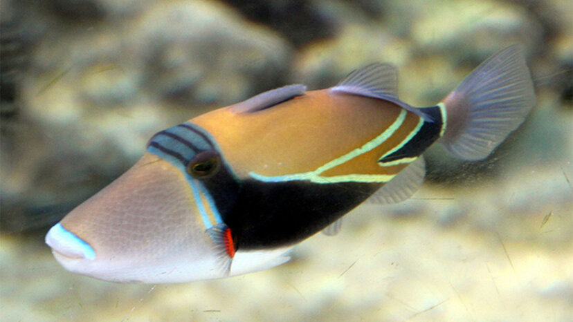フムフムヌクヌクアプアア:小さな魚の長い名前