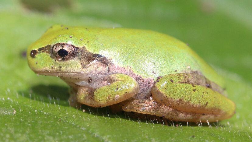 カエルは嘔吐できないので、胃全体を排出します