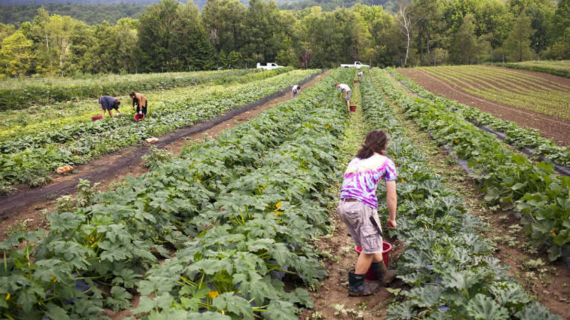 Local workers pick organically grown squash and zucchini at the Clear Brook Farm in Vermont. The farm was started in 1995 by Andrew Knafel and cultivates 25 to 30 acres (10 to 12 hectares) of its more than 200-acre (81-hectare) property. Robert Nickelsberg/Getty Images
