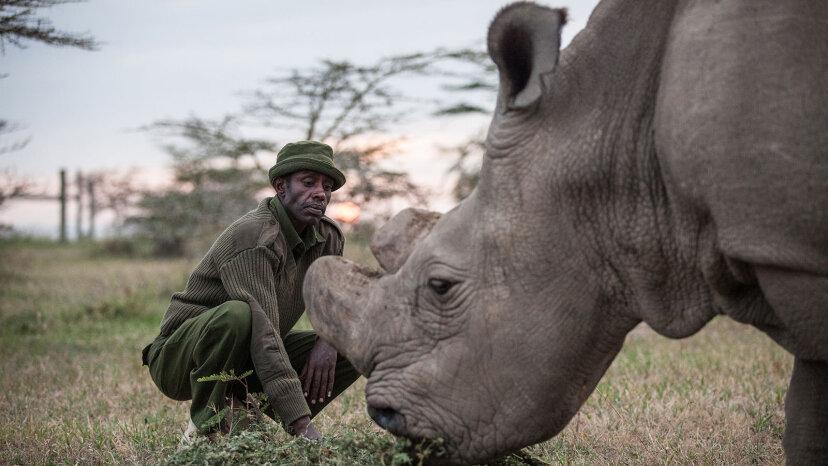 Sudan, the last male northern white rhinoceros