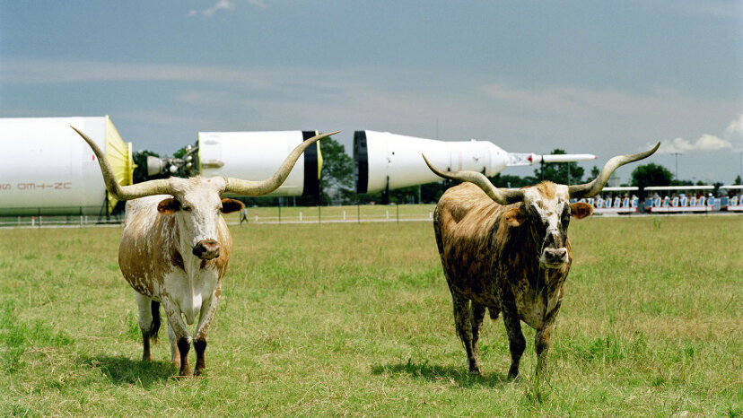 longhorn cattle at Johnson Space Center