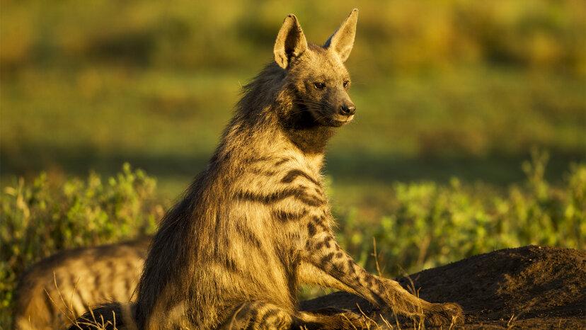 Aardwolf: ¿Aaarvark? ¿Lobo? No, es una hiena diminuta