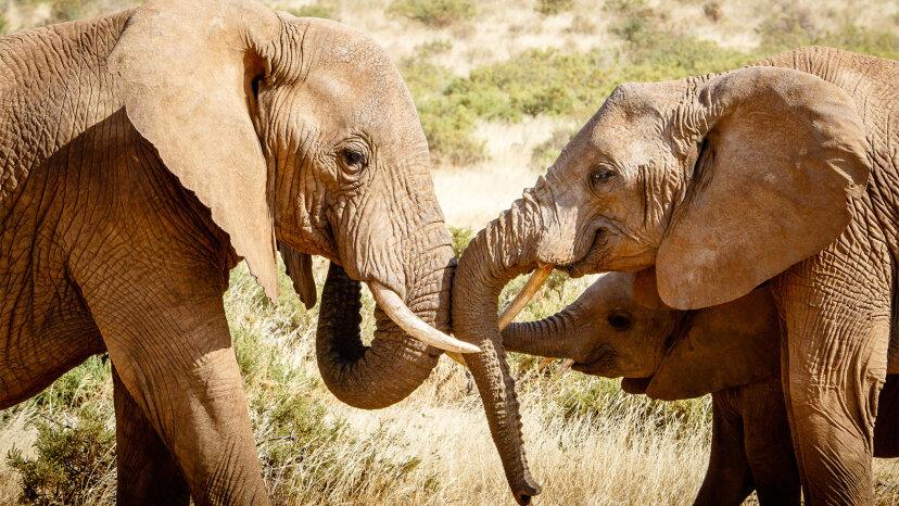 african elephant, human alarm