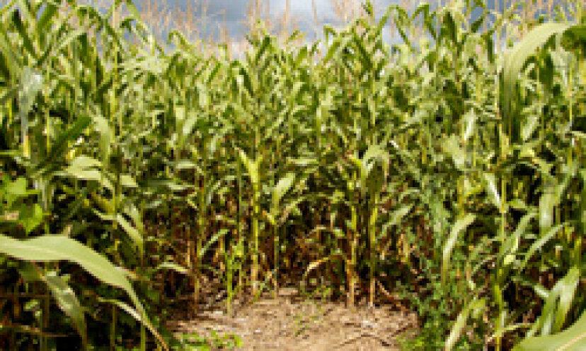 5つの驚くべきトウモロコシの迷路