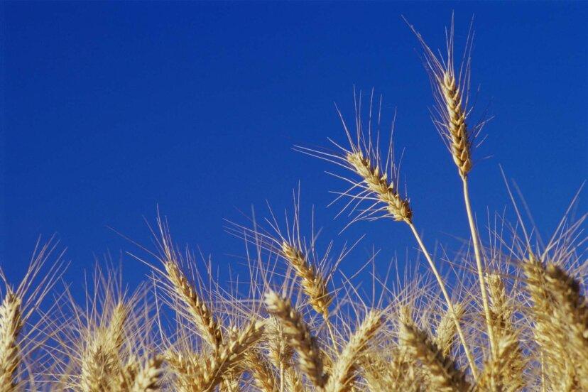 アメリカの小麦はヨーロッパの小麦とは違うのですか?
