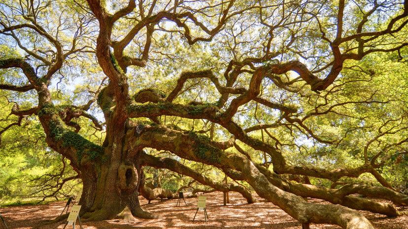 Massive 'Angel Oak' hat 500 Jahre Geschichte in South Carolina erlebt