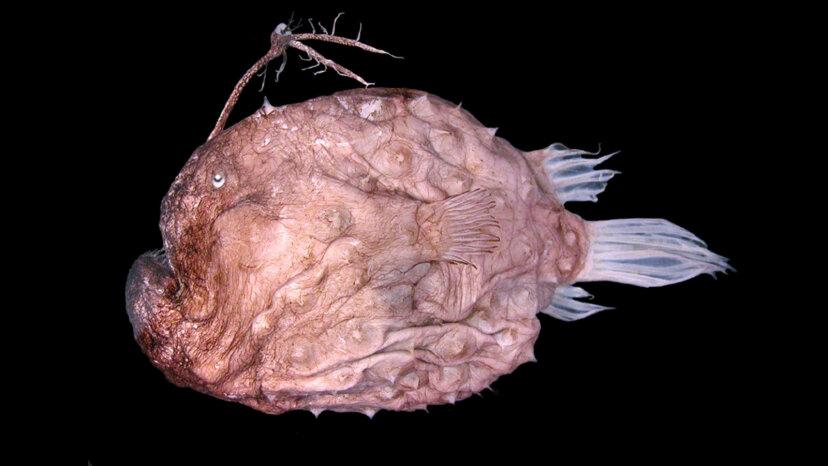 深海のアンコウがルアーを頭に乗せて獲物を捕まえる