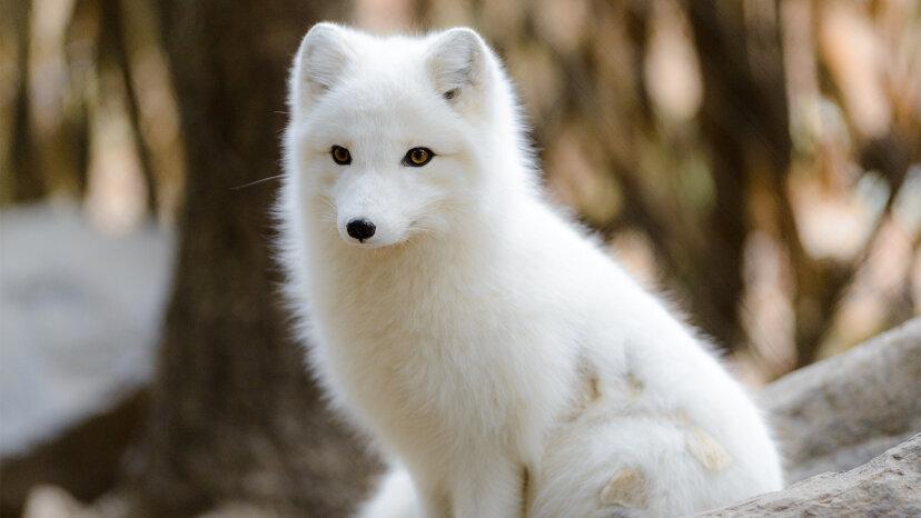 ¡Bebe esta frio afuera! Cómo el zorro ártico sobrevive a temperaturas frías