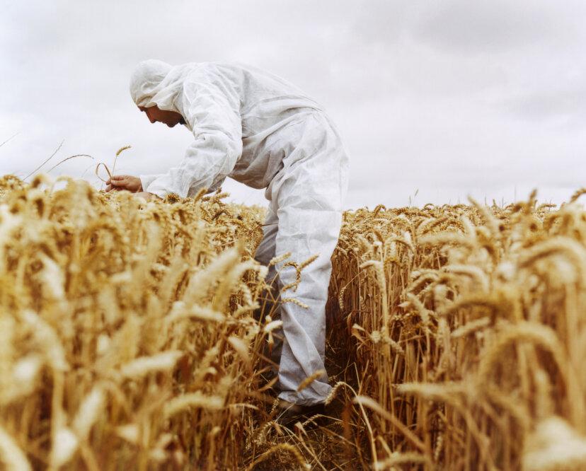 今日の小麦はすべて技術的に人工的なものですか?
