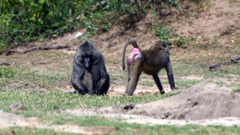 Paviane: Die Affen mit den scharlachroten Stiefeln