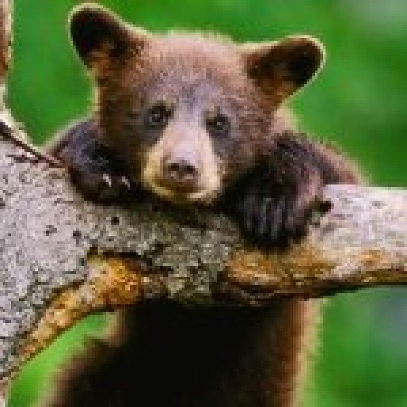 赤ちゃんクマの写真:カブスの写真:写真:クマ!