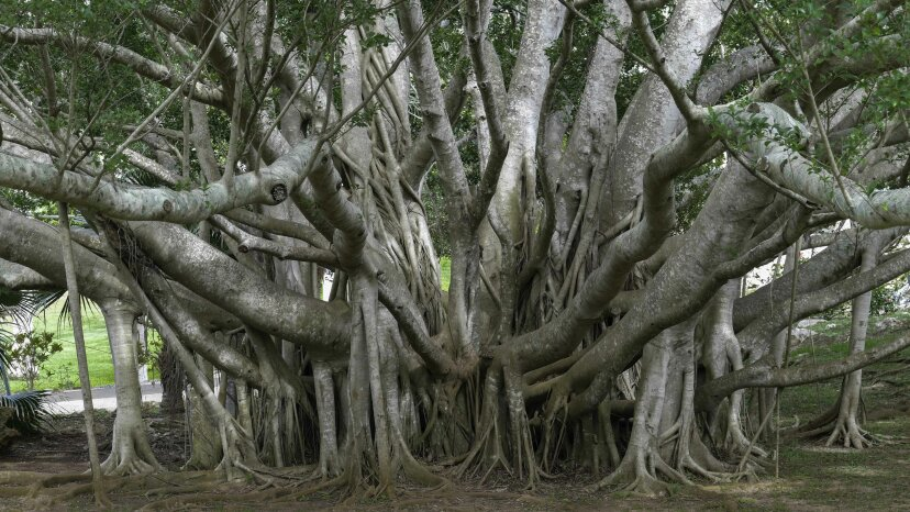 El poderoso Banyan Tree puede 'caminar' y vivir durante siglos