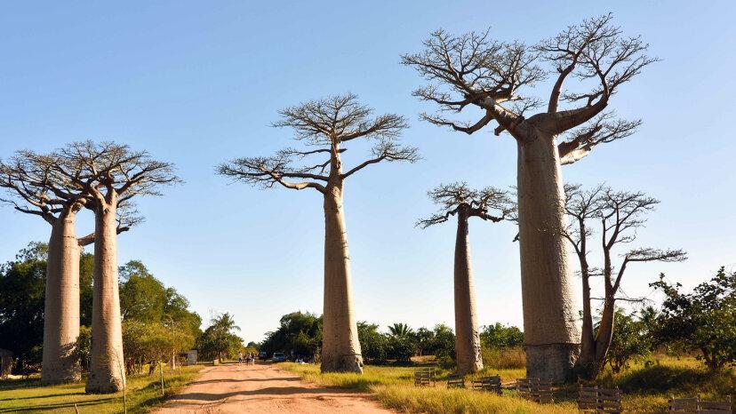 Árboles de baobab épicamente resistentes mueren en África