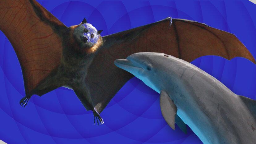 bats vs. dolphin sonar
