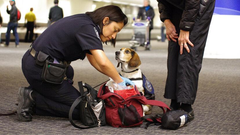beagle brigade officer dog Tyco on the job