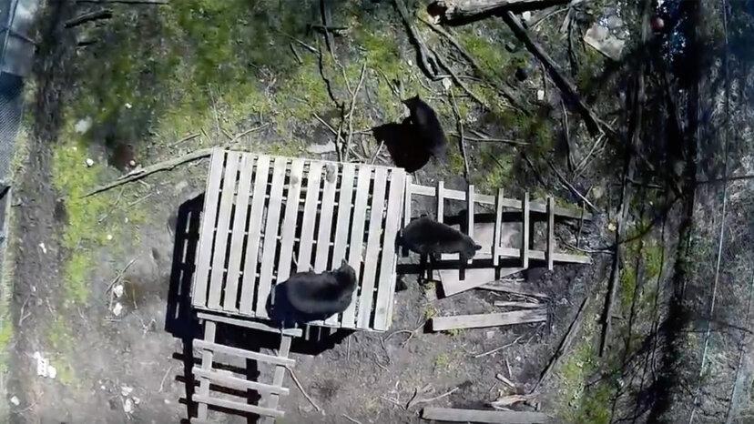 クマは繰り返しのドローン曝露に適応する、研究結果