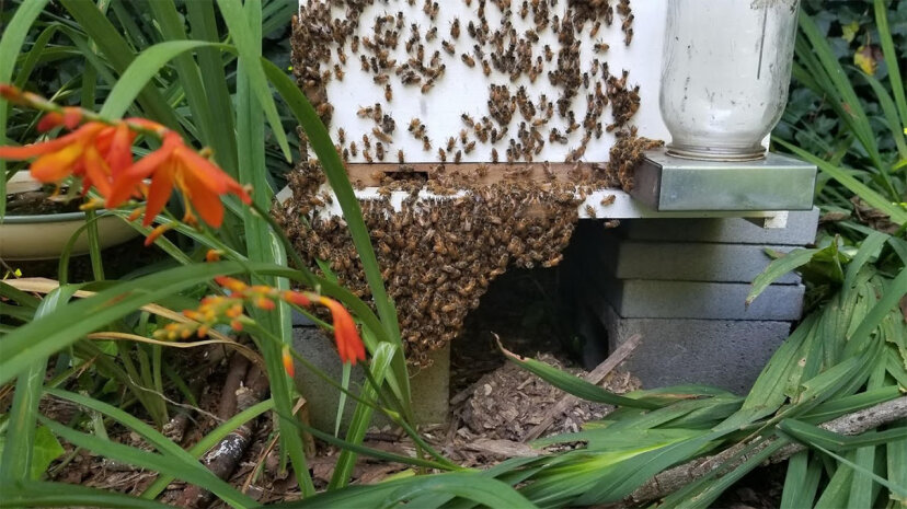 bees, bearding