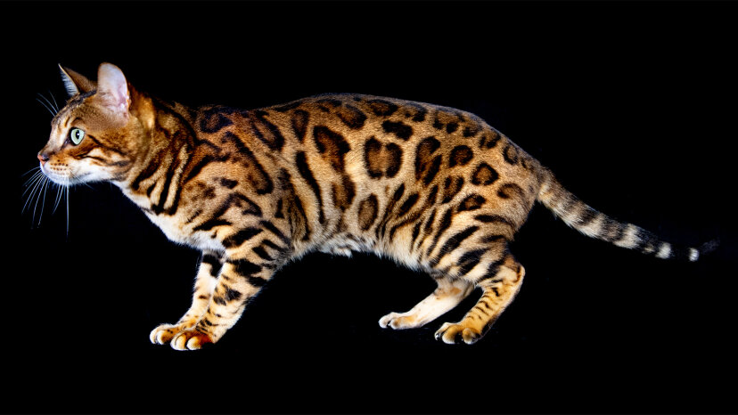 ベンガル猫はミニヒョウハイブリッドハウスキャットです