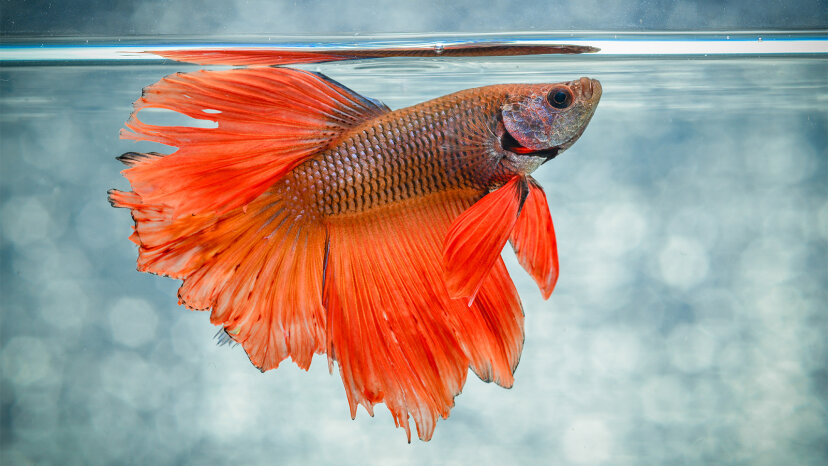 5 Dinge, die jeder an Betta Fish falsch macht