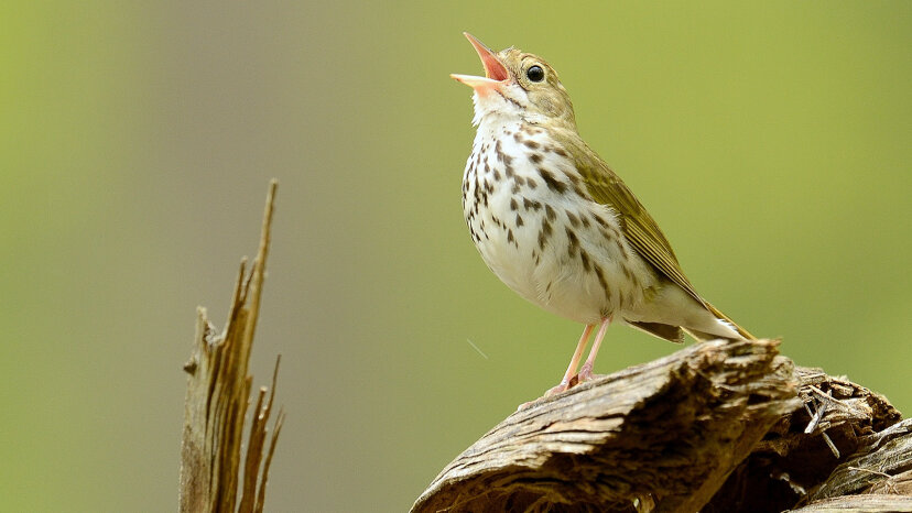 鳥だけがSyrinxを持っていて、それが彼らが歌う理由です
