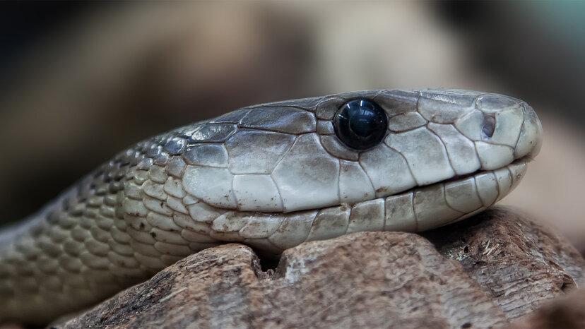 No te metas con la mamba negra, una de las serpientes más mortíferas del mundo
