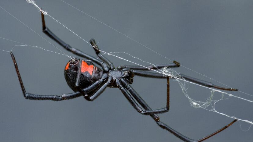 female black widow