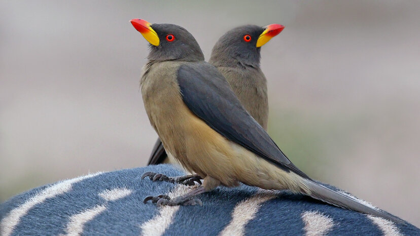 African oxpeckers