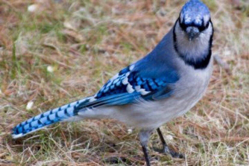 アオカケス:野鳥