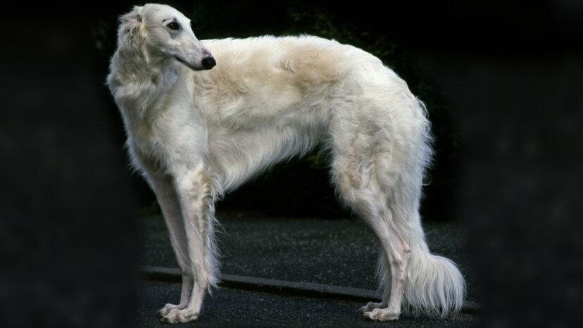 グレイハウンドのようなボルゾイはオオカミを倒すことができます。あなたの犬は何ができますか?