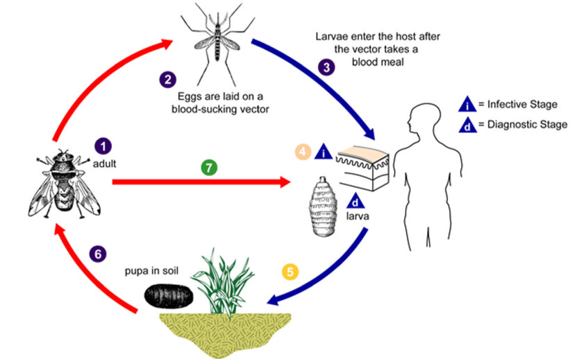 human botfly life cycle