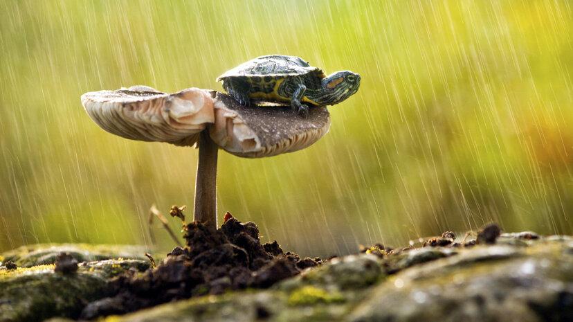 He aquí por qué no deberías comer una tortuga de caja en la naturaleza