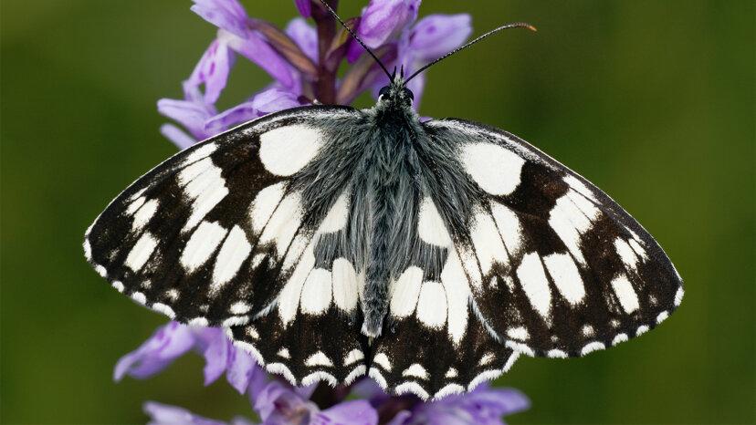 ¡Buenas noticias! Algunas poblaciones de mariposas se recuperaron en 2019