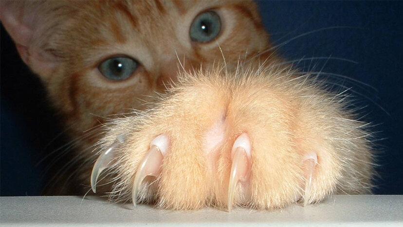猫のデクラウイング:痛い真実