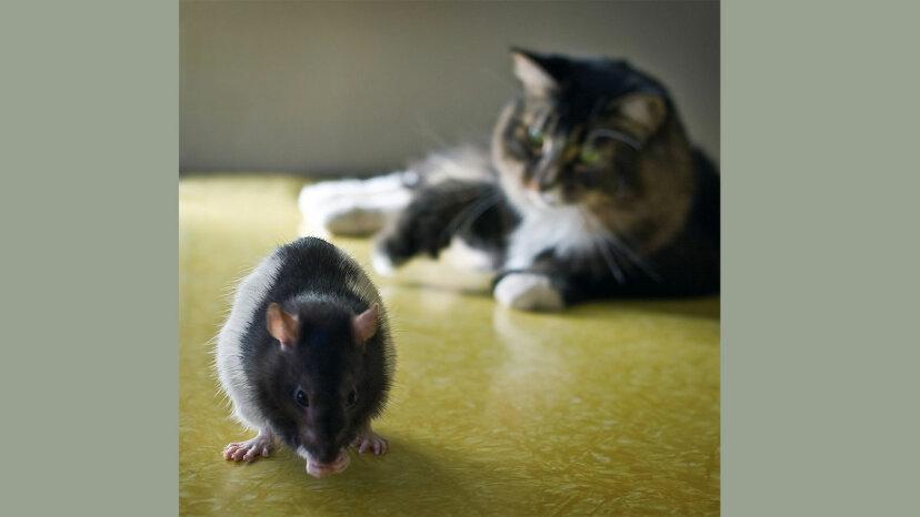 Contrariamente a la opinión popular, los gatos no son buenos atrapando ratas