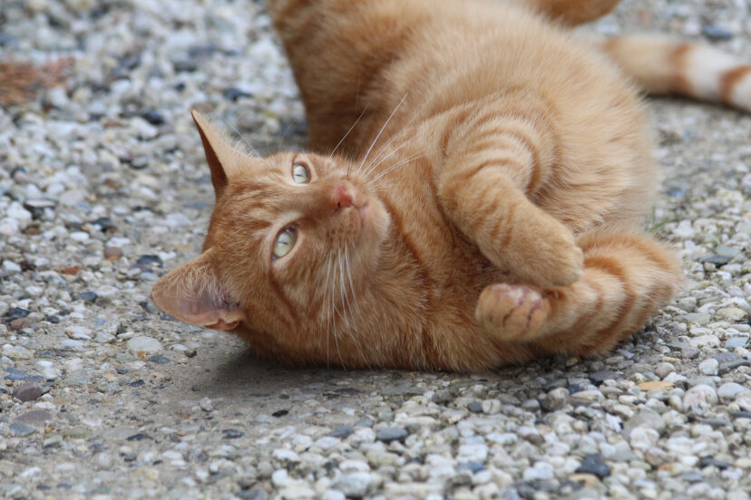Stubbs a ginger cat, like this one, was mayor of Talkeetna, Alaska for 20 years. Carla Honings /Eyeem/Getty Images