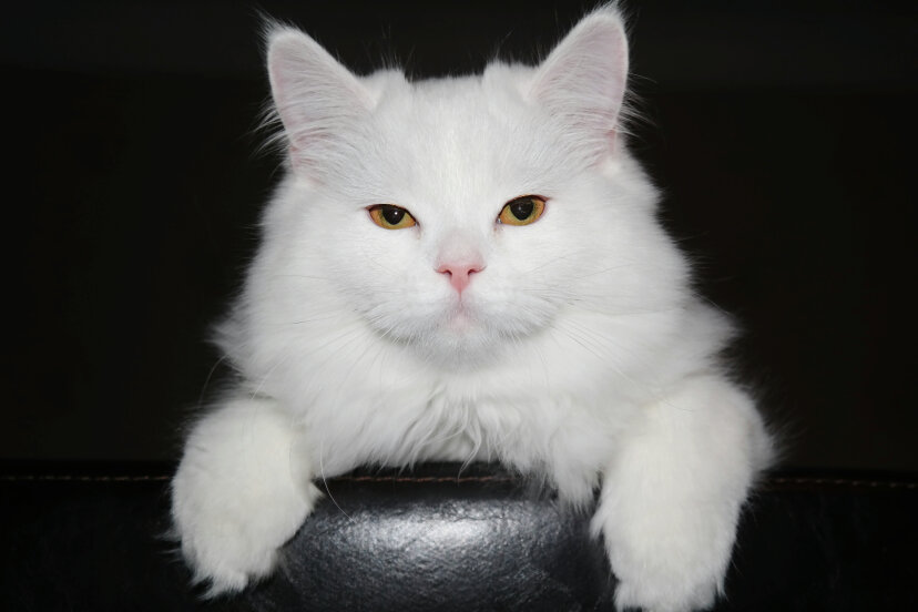 An all-white kitty like this one, called Snowball, unwittingly helped pinpoint a murderer. Madina Gajimuradova /EyeEm/Getty Images